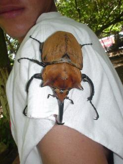 Apparently, this thing lives in Costa Rica, I will not be going there!!!: Animals, Bugs, Costa Rica, Insects, Beetles, Rhino Beetle