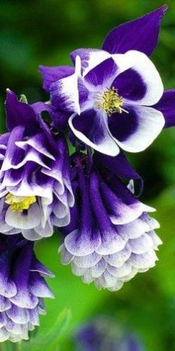 Aquilegias aka Columbine the flower can only truely be appreciated by looking up close, it has (barley visable to the eye) translucent petals in the center, so delicate you know...   there is a  God.: Aquilegias Columbine, Color, Beautiful Flowers, Pretty