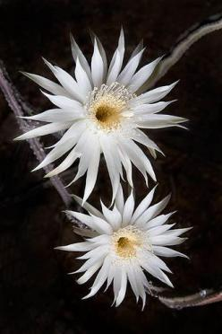 Arizona::  Queen of the Night (night-blooming cereus)   Once a year, after a few weeks of 100 fahrenheit / 40 celcius heat, the night blooming cereus cactuses bloom.: Queen Of, Night Cereus, Queens, Photo Sharing, Beautiful Flowers, Night Night Blooming,
