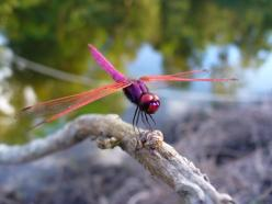 "As a creature of the wind, the dragonfly represents change. As a creature of the water, they represent the subconscious, or ""dream"" state. Other symbolic meanings associated with dragonflies, are prosperity, strength, courage, peace, harmony and p"