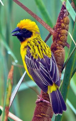 Asian Golden Weaver male ~ Ploceus hypoxanthus, by  Gary Kinard: Color, Birds Butterflies, Beautiful Birds, Animals Birds