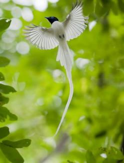 Asian paradise flycatcher. I saw this bird once on a trip to Mt. Abu. And seeing it flying was one of the most breathtaking things ever! Need to go bird watching soon!: Animals, Flycatcher Bird, Nature, Poultry, Beautiful Birds, Photo