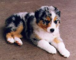 Austrailian shepard puppy.. This is what Momma's dog is mainly, except she is mixed with something that gave her short hair, other then that Jazmin looks just like this!! :-) So cute!: Australian Shepard, Animals, Dogs, Aussies, Pet, Australianshepher
