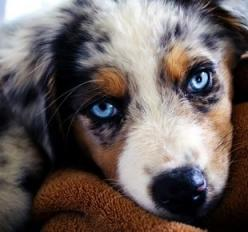 Australian Shepherd: Australian Shepard, Animals, Dogs, Australian Shepherds, Australianshepherd, Blue Eyes, Australian Shepherd Puppies, Aussie