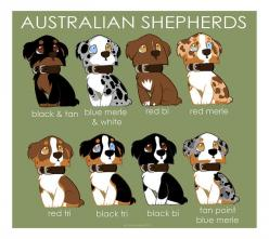 Australian Shepherd Breed colors | Australian Shepherd Color Patterns by briteddy on deviantART: Australian Shepard, Australian Sheperd, Australian Shepherds, Aussies, Color Patterns, Mini Aussie, Animal