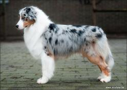 Australian Shepherd - Cash at 14 months old the most beautiful thing ever!!: Australian Shepard, Australian Sheperd, Australian Shepherd Dogs, Australian Shepherds, Blue Merle, Beautiful Dogs, Beautiful Things, Aussie