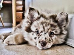 Australian shepherd/ Pomeranian mix. How adorable: Australian Shepard, Animals, Puppies, Dogs, Pet, Puppys, Pomeranians, Australian Shepherd