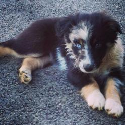 Australian Shepherd puppy: Doggie, Animals, Aussies, Pet, Dogs Eyes, Puppys, Dogs Puppies, Australian Shepherd Puppies, Box