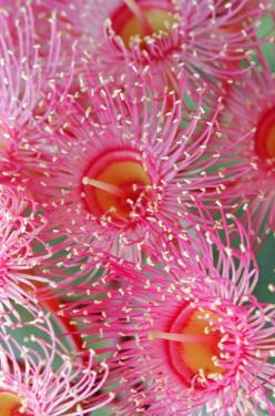 "Australian Wild Gum Blossom. ""Gum Tree"" is the most common name for the 500 kinds of Australian Eucalyptus.: Pink Flower, 500 Kinds, Eucalyptus Blossom, Gum Blossom, Wild Gum, Australian Wild"