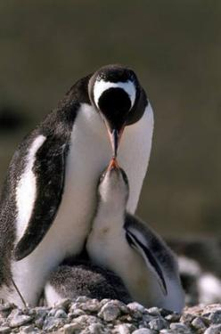 AWK stop with the penguins! (not that it is *you* friend pinner, they are just clogging up the history pages): Penguin Love, Mothers, Sweet, Happy Feet, Penquin, Baby Penguins, Penguins 3, Animal