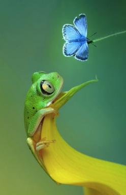 "awkwardsituationist: "" tree frog and chalkhill blue butterfy, photo wil mijer "": Animals, Butterflies, Blue Butterfly, Tree Frogs, Beautiful, Blue Butterfy, Photo"