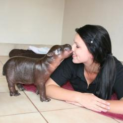 Awww! And this baby hippo is named after my favourite member of the royal family too, Prince Harry.: Baby Hippo, Pygmyhippo, Babies, Animals, Pet, Babyhippo, Baby Animal, Pygmy Hippo