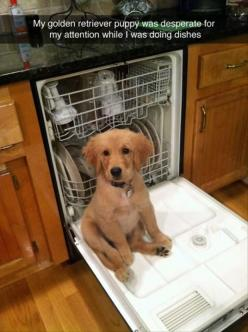 Awww...: Dogs, Golden Retrievers, Funny Puppy, Pet, Puppys, Animal