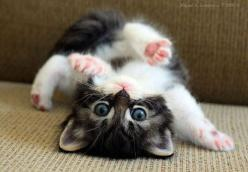 awww kitty yoga: Cats, Animals, Kitty Cat, Cutenes, Pets, Funny, Adorable, Kittens, Kitties