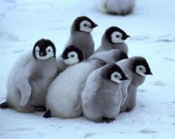 Awww, these guys are adorable and so strong to be able to withstand that bitter cold!: Babies, Babypenguins, Cute Penguin, Happy Feet, Pet, Favorite Animal, Baby Animals, Baby Penguins