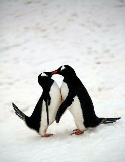AWWWW!!! And the one on the left, him's shaking his tail with escitement!!! Is like a foot pop for penguins!!!!!: Penguin Love, Animals, Penguins Love, Sweet, Penguin Smooch, Penguins Kissing, Animal Kisses, Penguin Kisses, Birds