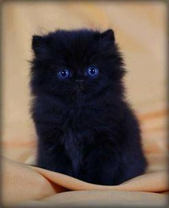 awwwww. Fluffy black kitten. This reminds me a bit of my cat, Boo, when he was little. I have 14 cats right now.: Kitty Cats, Animals, Fluffy Kitten, Black Cats, Blue Eyes, Black Kittens