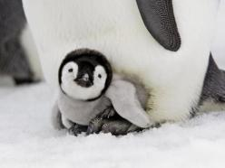 .: Babies, Adorable Animals, Creature, Happy Feet, Pet, Things, Baby Animals, Baby Penguins
