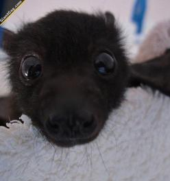 Baby Bats Are Adorable | Click the link to view full image and description : ): Babies, Cuteness, Sweet, Adorable Animals, Babybats, Baby Bats