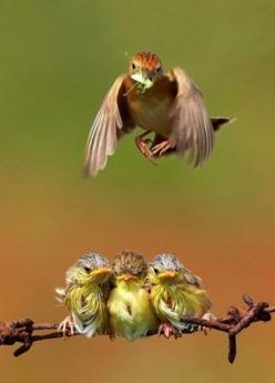 Baby birds at feeding time. I love the way the one in the middle acts like his siblings are crowding him.: Animals, Mother, Feeding Time, Nature, Birdie, Beautiful Birds, Baby, Photo