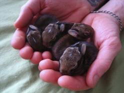 Baby bunnies! Did you know that rabbits are so hard wired to be sensitive to danger that when they're little, being startled can give them a heart attack! So shhhh! They're sensitive! <3: Rabbit, Babies, Cuteness, Bunny, Baby Bunnies, Baby Anim