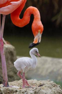 Baby Flamingo - A Caribbean flamingo chick's feathers are mostly white. The typical flamingo pink color comes from their food and collects in their feathers as they grow up. In the wild, they get color from shrimp and krill, but at the zoo, they put t