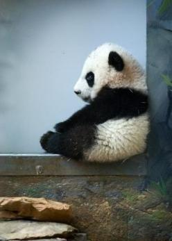 Baby panda - you just want to hug him and squeeze him and call him George!: Babies, Baby Pandas, Creature, Pet, Adorable, Things, Baby Animals, Panda Bears