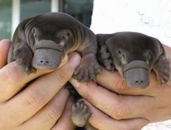 baby platypus: Babies, Babyplatypus, Platypus Babies, So Cute, Creature, Adorable, Things, Baby Animals