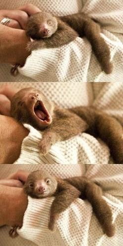 Baby sloth!  Baby sloth yawning... can I hug it?  Please?  I'll give it back, I promise.: Sloth Yawning, Cuteness Overload, Adorable Animals, Babysloth, Baby Sloths, Animalss, Baby Animals, Sloth Baby