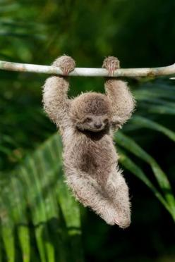 Baby sloth. Ridiculously cute! And so amazingly unusual it looks like a creature a special effects studio invented!: Sloth Hanging, Cute Sloth, Baby Sloths, Babysloth, Creatures, Cute Animals, Adorable, Baby Animals