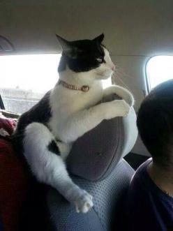 .Back seat driver!.: Car, Cats Cats, Kitten, Funny Cats, Crazy Cat, Funny Animal