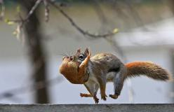 Backyard Nature Photography - Ken Yuel was able to photograph this mother squirrel's move to a new neighborhood in Winnipeg, as she carried each of her seven babies along the top of his fence. More cool pix at http://www.darkroastedblend.com: Photos,