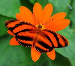 Banded Orange also known as Dryadula Phaetusa and is found in Brazil to Southern Mexico: Beautiful Butterflies, Orange Flower, Southern Mexico