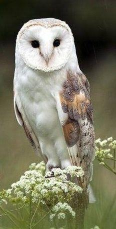Barn Owl   ...........click here to find out more     http://googydog.com: Animals, Children, Barnowl, Birds, White Owl, Barn Owls