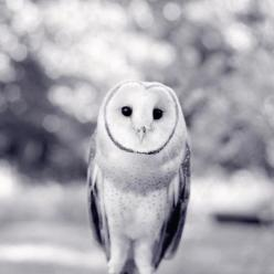 Barn Owl - fine art photography print by Allison Trentelman | rockytopstudio.com: Woodland Animal, Animal Photography, Owl Print, Black And White, Children, Barn Owls