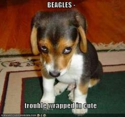 Beagles: trouble wrapped in cute. That's a fact! #beagle - I'm trying not to pin EVERY beagle pic but they are just too adorable!: Face, Animals, Dogs, Pets, Funny, Puppys, Puppy, Beagle