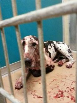 Beaten by ACO and sentenced to death-- Please share far and wide. They will kill her after abusing her to cover up for their cruelty!!!: Animal Rescue, Animal Rights, Animal Cruelty, Animal Abuse, County Animal, Fine Wine S, Dog, Galveston County, Animal