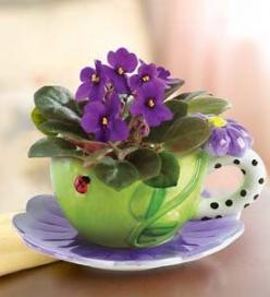 Beautiful and fun to propagate.  Just clip a leaf, dip in rooting hormone and place in a pot with African Violet mix potting soil.  Keep damp.  (You can also root them in water & plant stem shallow after roots are established - Beth): Tea Time, Purple
