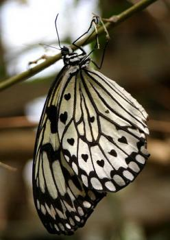 beautiful black & white butterfly -- with tiny black hearts on the wings!: Beautiful Butterflies, Butterfly, Animals, Black Heart, Nature, Black And White, Flutterby