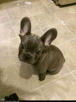 Beautiful Blue French Bulldog Puppy: Baby Frenchie, Face, Animals, Frenchie Baby, Frenchbulldog, Blue French Bulldogs, French Bulldog Puppies
