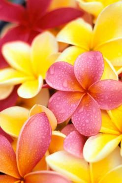 Beautiful board today!!  Tonight and Saturday, let's do YELLOW and PINK.: Favorite Flowers, Plumeria Flowers, Color, Hawaiian Flower, Beautiful Flowers, Pretty Flowers, Frangipani, Garden, Flower