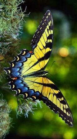 Beautiful  Butterfly: Beautiful Butterflies, Butterflies Dragonflies Moths, Flutterby, Swallowtail Butterfly