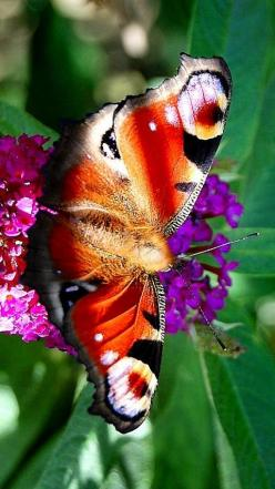 Beautiful butterfly: Beautiful Butterflies, Nature, Color, Beauty