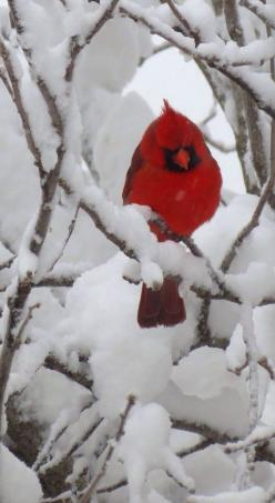 Beautiful Cardinal. This is what my office view often looks like when it snows. Snow covered branches with cardinals dotted here and there. The contrast in color is striking.: Winter Scene, Redbird, Beautiful Birds, Beautiful Cardinal, Red Birds, Animal