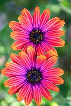 Beautiful center piece for your #flower #garden - Osteospermum Light Copper http://dreaminggardens.blogspot.com/2015/04/osteospermum-light-copper-by-mikejames.html: Osteospermum Light, Color, Flowers Plants, Beautiful Flowers, Pretty Flowers, Flowers Gard