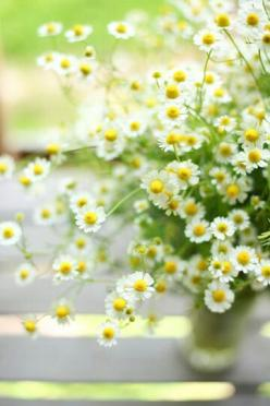 Beautiful: Chamomile Flower, Herbal Tea, Daisies, Daisy, Small Flower, Bloom, Flowers, Spring, Garden