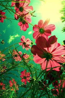Beautiful Comos: Picture, Nature, Color, Art, Beautiful, Things, Flowers, Garden, Photography