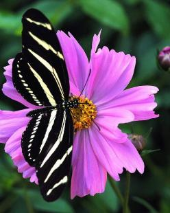 ---Beautiful contrast! Zebra Longwing Butterfly against pink(ish) flower backdrop.: Beautiful Butterflies, Zebra Butterfly, Longwing Butterfly, Flutterby, Zebra Longwing, Flower, Zebras