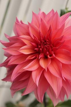 beautiful coral Dahlia might use this image for a watercolor painting good to use for a color study in a way: Dahlia Coral, Color, Dahlias, Beautiful Flowers, Coral Dahlia, Tattoo, Garden