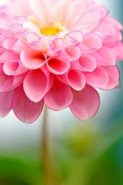 Beautiful Dahlia: Pink Flowers, Dahlias, Beautiful Flowers, Pretty Flowers, Flower Power, Garden, Favorite Flower